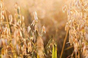 Oat in field
