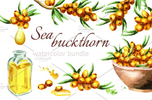 Sea Buckthorn Watercolor