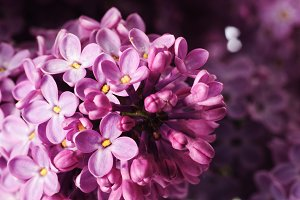 lilac branch isolated on white