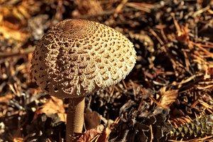 Lepiota procera mushroom