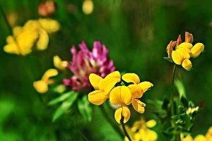 Birdfoot Trefoil flower