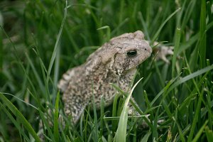 Summer Toad