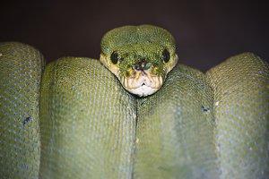 snake, green python
