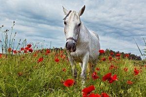 Beautiful white horse grazing