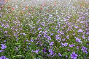 Field of blooming flowers