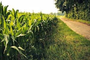 Path in a Field of Corn