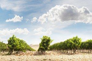 Vineyards panoramic image
