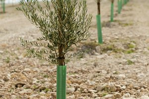 Yang olive trees in a row