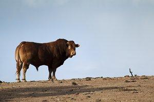 Bull in Farm