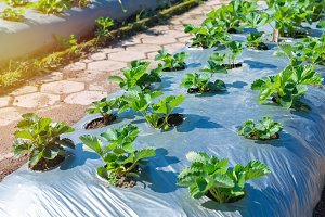 Strawberry growing in agriculture