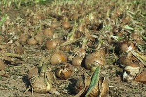 Onions plantation