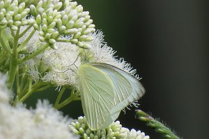 White butterfly on cream flowers