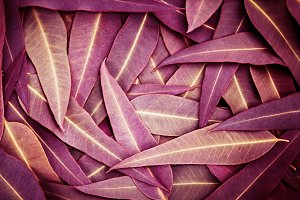 Nature purple Eucalyptus leaves