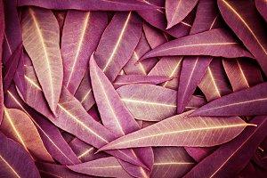Nature purple Eucalyptus leaves