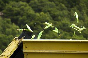 Harvester reaps corn