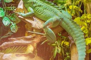 lizard Plumed basilisk