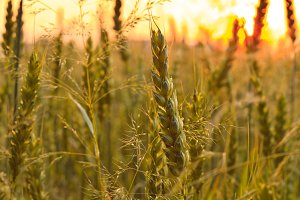 Wheat field with sunlight