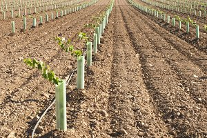 Newly planted vineyards