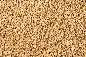 Arabica coffee beans in sunny