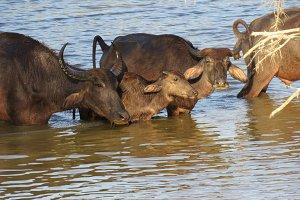 Water Buffalo family