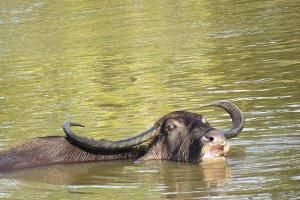 Water Buffalo wading