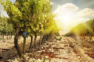 Vineyards at sunset in autumn harves