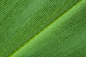 Natural background of green leaf