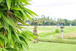 Green Bamboo in nature of Bali island, Indonesia.