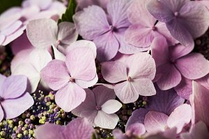 Bunch of beautiful pink Hydrangea/ Hortensia flowers