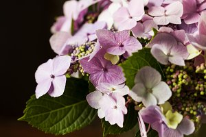 Bunch of beautiful pink Hydrangea/ Hortensia flowers