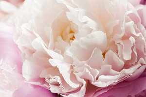 Beautiful pink peonies in white vase
