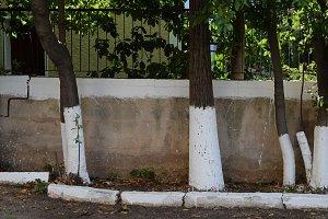 Whitewashed Tree Trunks