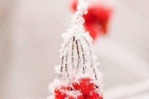 Red rowanberry in winter