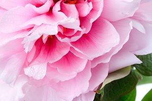 Pink peony close up