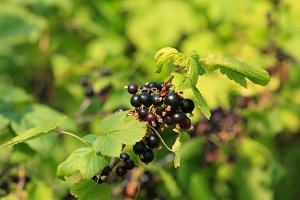 Black currant branch in garden