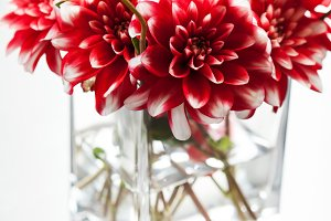 Beautiful red and white dahlia flowers in vase