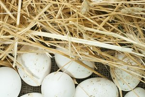 Organic white domestic eggs on sackc