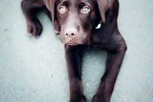 Chocolate young labrador retriever