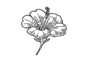Hibiscus flower. black engraving vintage illustration on white background