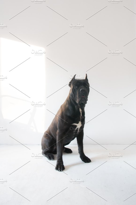 Cane Corso Dog Portrait On A White Background