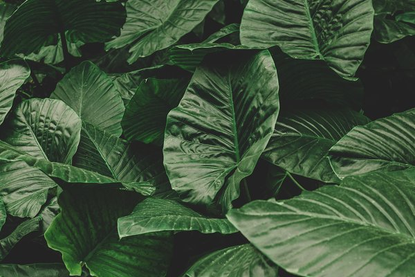Big Green Tropical Leaves Stock Photo Containing Tropical Leaves And Tropical High Quality Nature Stock Photos Creative Market These gardens typically need fertilizer and heavy mulching. big green tropical leaves stock photo containing tropical leaves and tropical