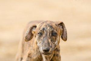 puppy purebred greyhound