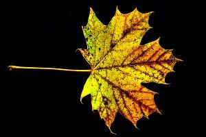 Leaf Black Background
