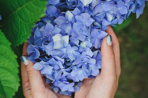 Blue hydrangea in girl's hands