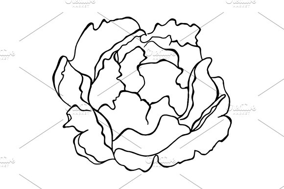 Peony Flower Sketched Art Vector
