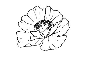 Poppy flower sketched art vector