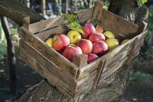 Apples in an old wooden crate on tre