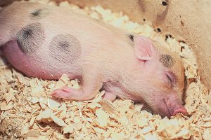 sleeping piggy in sawdust