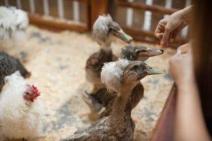 Feeding duck on farm