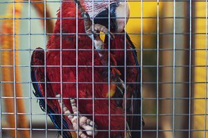 Big parrot in a cage